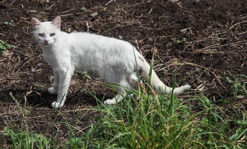 7088422-white-cat