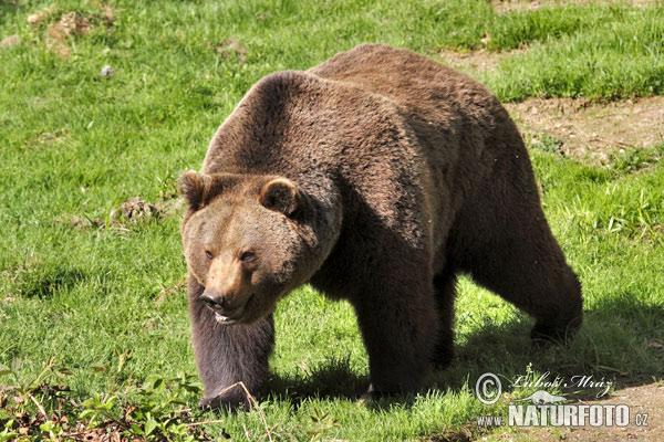 Бурый-медведь-76x_12a712