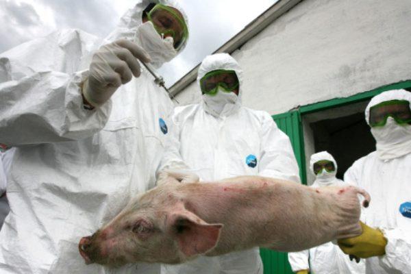 свинячої чуми